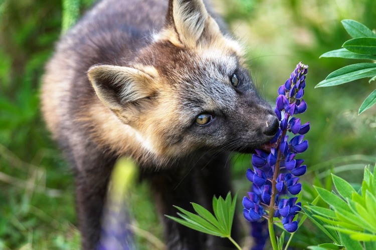 Baby Fox eating Lupins © Brian McInnis