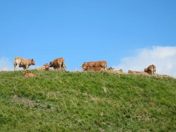 Parco dell'Antola mucche al pascolo