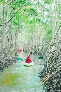 mangrove rivière-salée martinique