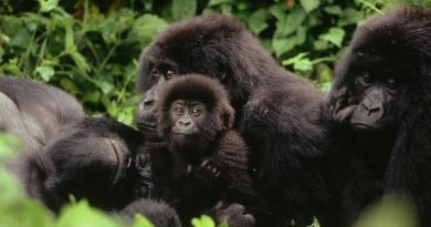 gorilla_congo