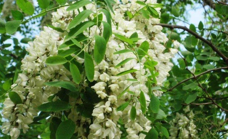 Acacia, il fiore buono da mangiare e che fa bene
