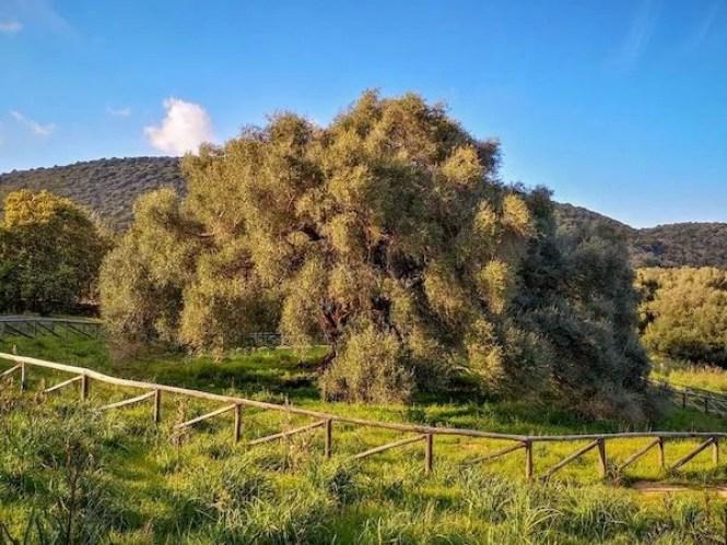olivastri millenari lura