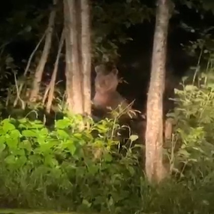 Çamlıhemşin'de aç kalan ayılar kış uykusu öncesi yaşam alanında böyle görüntülendi