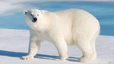 صورة كيف تكيف الدب القطبي مع البيئة الباردة