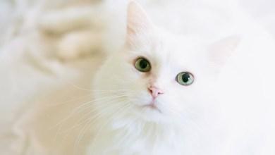 صورة حكم بيع وشراء وتربية القطط