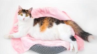 صورة رعاية القطط والعناية بها في فترة الحمل