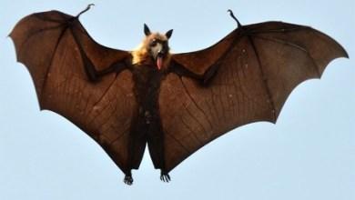 صورة معلومات توضح الفرق بين الوطواط و الخفاش