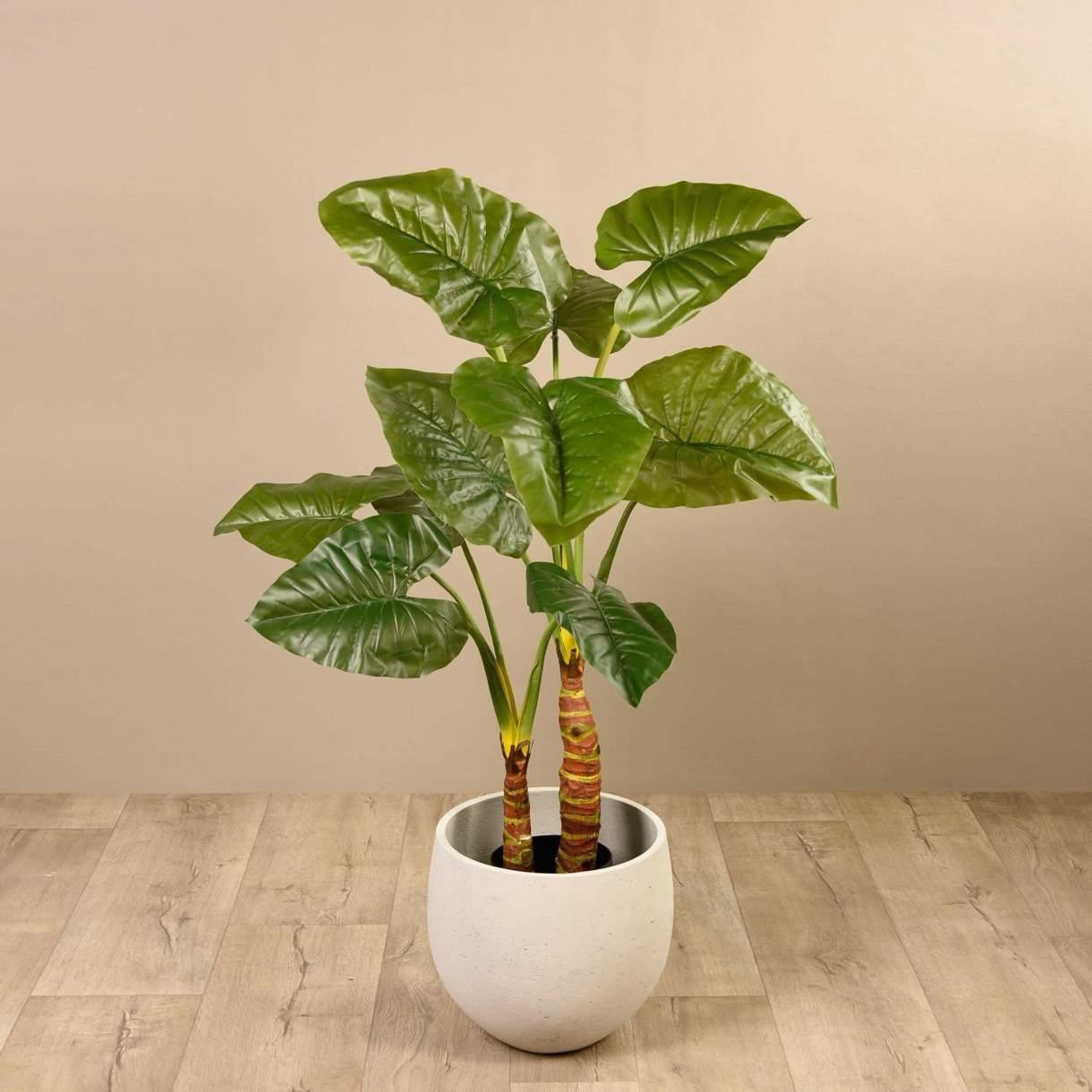 فوائد نبات القلقاس