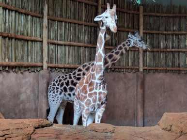Lincoln Park Zoo - giraffes