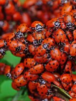 Lady Bugs – 1500 count