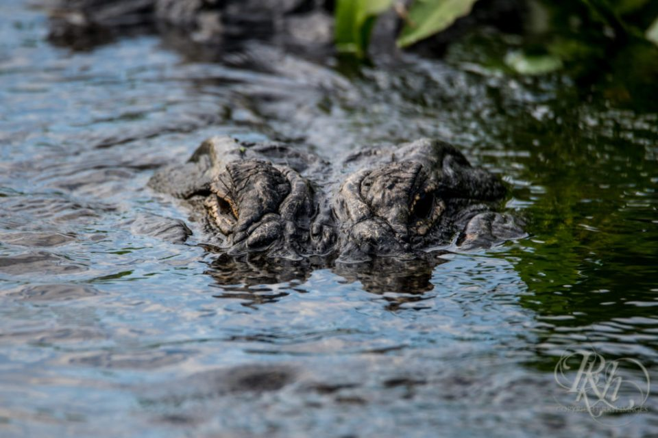 Aligator at Circle B in Florida