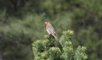 House finch in Flagstaff, AZ