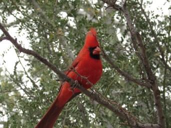 A northern cardinal at Boyce Thompson Arboretum, AZ