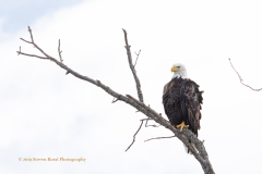 North American Bald Eagle Keeping An Eye On Flickabirds Bay, East Rush Lake