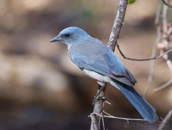 Geai du Mexique - Mexican Jay