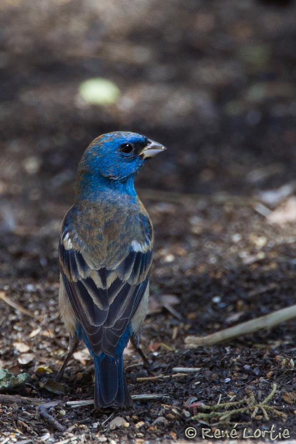 Passerin azuré - Lazuli Bunting