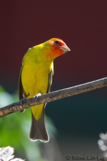 Tangara à tête rouge - Western Tanager