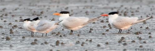 Sternes caugek-Sandwich Tern ; Sterne royale - Royal Tern - Grand Isle, Louisisane