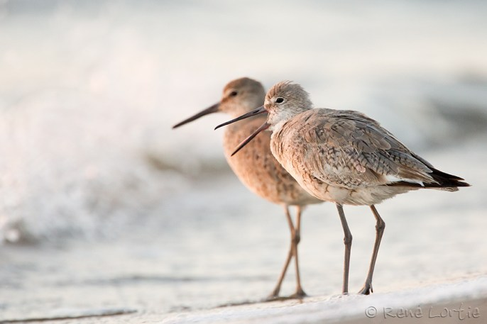 Chevaliers semipalmés - Willets