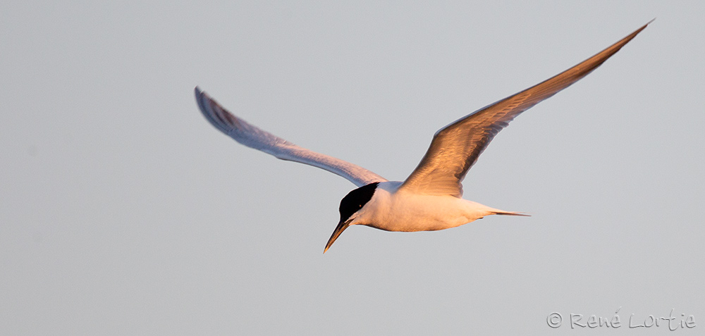 Sterne caugek - Sandwich Tern