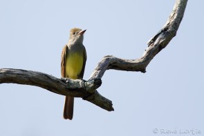 Tyran huppé - Great-crested Flycatcher