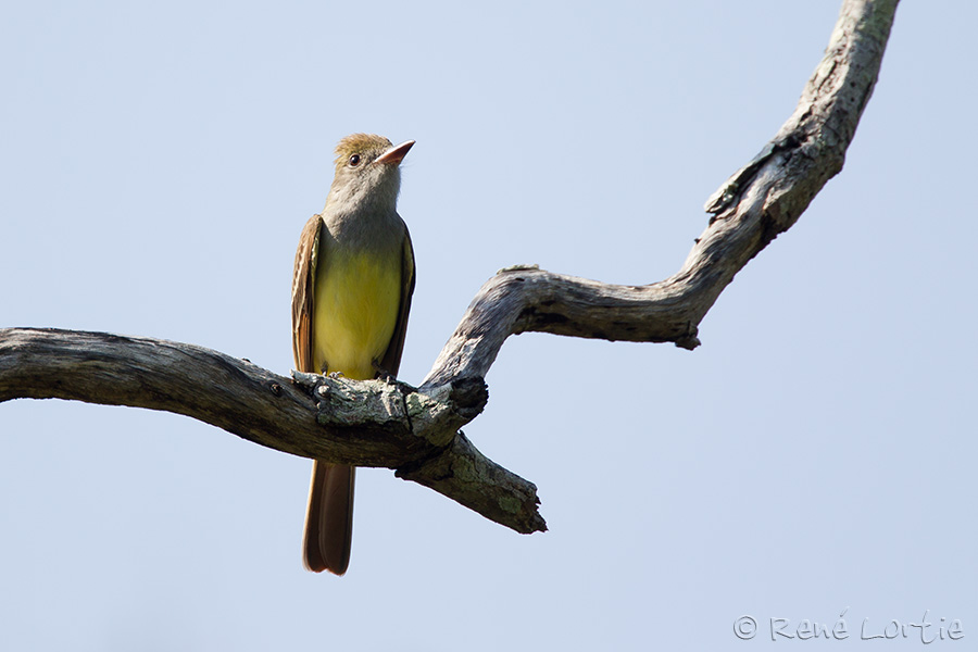 Tyran huppé - Great-crested Flycatcher
