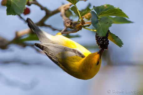 Paruline orangée - Prothonotary Warbler