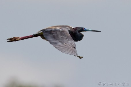 Aigrette tricolore - Tricolored Heron