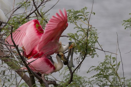 Spatule rosée, accouplement - Roseate Spoonbill, mating