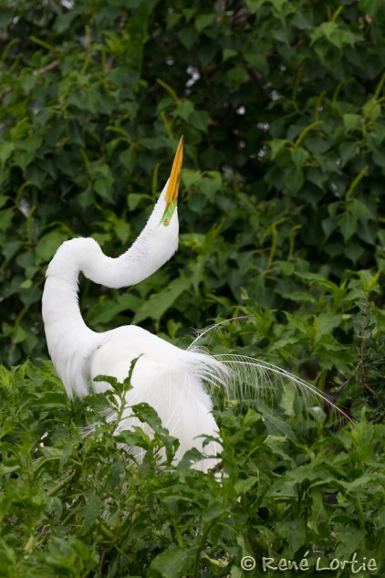Grande aigrette - Great Egret