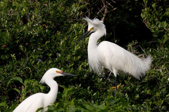 Aigrettes neigeuses - Snowy Egrets