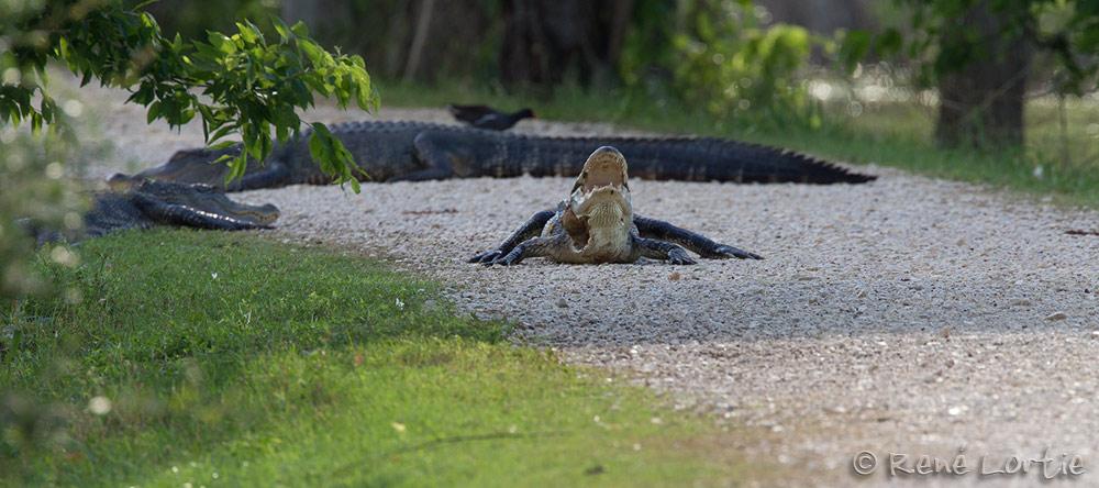 Alligators en plein milieu du sentier; qu'est-ce qu'on fait ? On fonce...tranquillement,