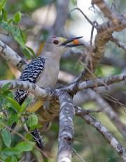 Pic à front doré - Golden-fronted Woodpecker