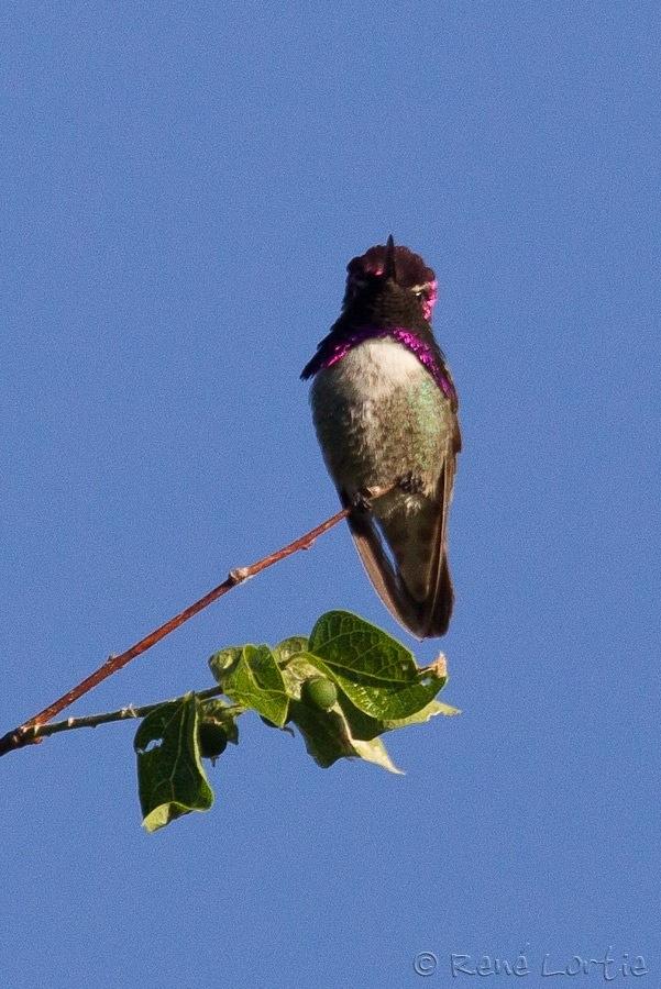 Colibri de Costa / Costa's Hummingbird / Calypte costae