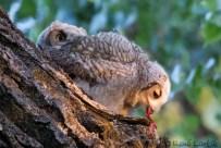 Grand-duc d'Amérique / Great Horned Owl / Bubo