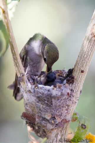 Nourrissage au nid - Nest Feeding