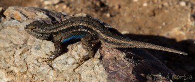 Lézard - Grand Canyon, Arizona