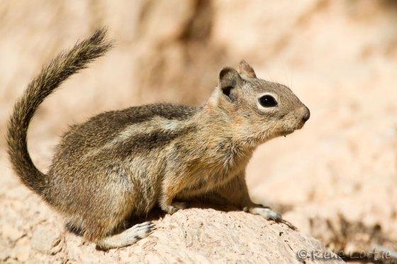Spermophile à mante dorée - Golden-mantled ground squirrel