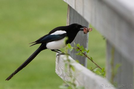 Pie d'Amérique - Black-billed Magpie