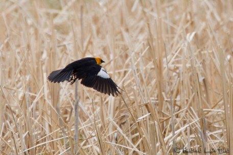 Carouge à tête jaune - Yellow-headed Blackbird