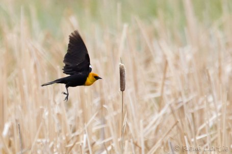 Carouge à tête jaune - Yellow-headed Blackbird