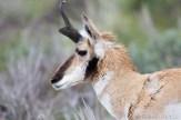 Antilope d'Amérique mâle (Pronghorn)