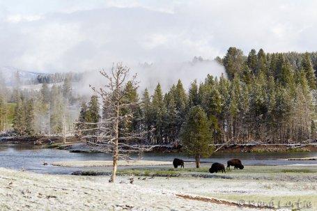 Bisons broutant - Hayden Valley
