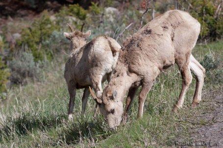 Chèvres des montagnes