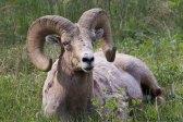 Mouflon du Canada - Bighorn Sheep