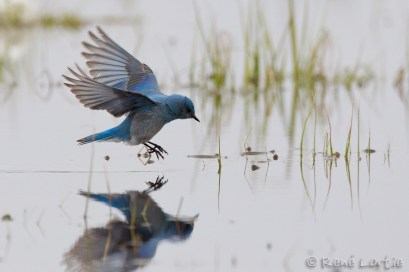 Merlebleu azuré - Mountain Bluebird
