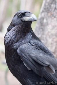 Grand corbeau - Raven