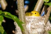 Paruline jaune au nid