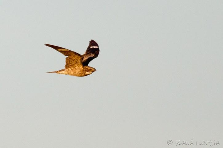 Engoulevent d'Amérique / Common Nighthawk / Chordeiles minor - Blue Mounds State Park, Minnesota