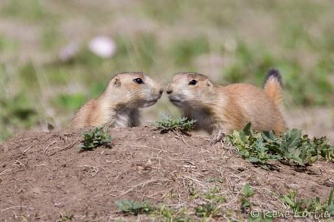 Chiens de prairie (jeunes) - Prairie Dogs